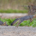 Gray Fox composite