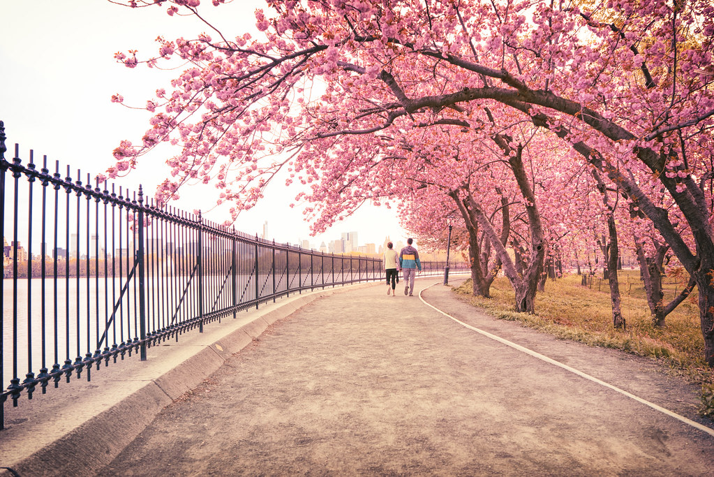2ba4358970 New York City - Spring - Central Park Cherry Blossoms | Flickr