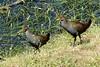 Tasmanian Native-hen Birds in Richmond Tasmania, Australia by Joseph Hollick