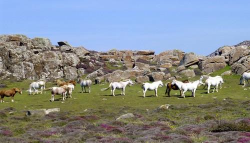 wales pembrokeshire stdavidshead horses ponies heather rocks pembrokeshirecoastnationalpark worldtrekker
