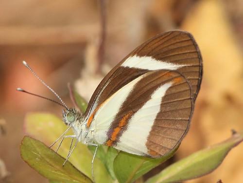 butterfly ecuador jorupe loja pieridae pierinae pierini richhoyer urracalodge