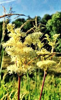 Meadowsweet in bloom | by William Parsons Pilgrim