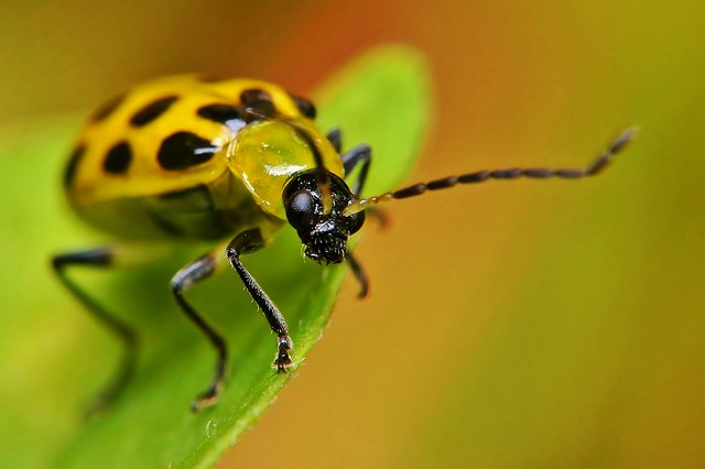 Spotted cucumber beetle, Macro
