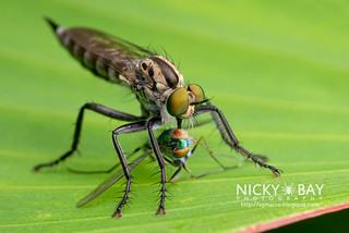 Robberfly (Asilidae) with captured Long-legged fly (Dolichopodidae) - DSC_5296 | by nickybay