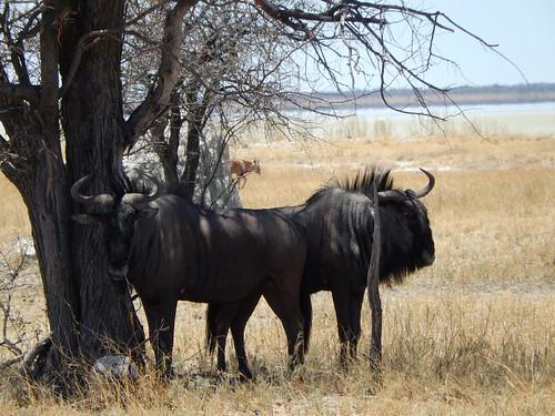 Etosha NP - blue wildebeest