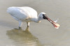 Black faced spoonbill- Fishing! by Okinawa Nature Photography