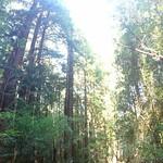 Image: Vertical Redwood Panorama