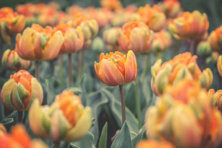 Orange Princess Tulips - Eden Project | by Ben K Adams