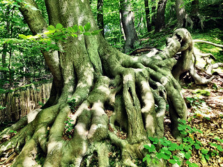 Beech roots Knole | by William Parsons Pilgrim