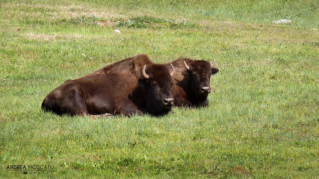 Bison, Wind Cave National Park - South Dakota