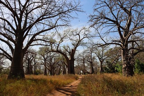 baobab nature senegal africa landscape