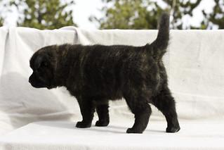 Nori-Litter1-Day30-Puppy1-Female-4 | by brada1878