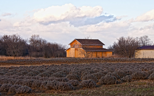 farm lavender princeedwardcounty pec clossenrd