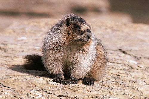 Wildlife in British Columbia, Canada: Hoary Marmot