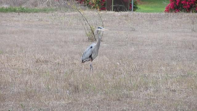 MVI_7672 great blue heron walking isla vista field