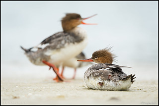 Common Mergansers @ Fort Desoto Florida | by Nikographer [Jon]