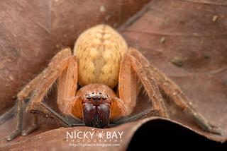 Huntsman Spider (Olios sp.) - DSC_1793 | by nickybay