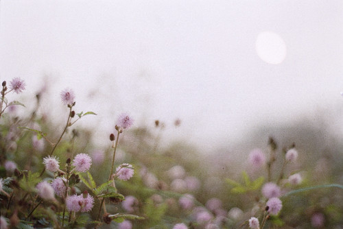 morning flower film misty analog sunrise hope dawn random thoughts fujifilm buds dhaka bangladesh banasree hexanon50mmf17 fujicolorc200 dhakadivision pacificimage aftabnagar konicaautoreflext3n sheikhshahriarahmed primefilm3650pro3