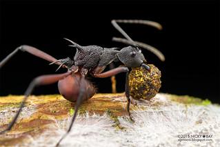 Ant (Polyrhachis armata) - DSC_5590