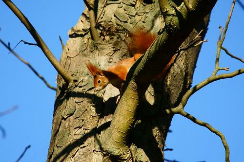 eichhörnchen  auf futtersuche im baum  lutz blohm  flickr