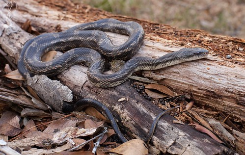 Pantherophis obsoletus lindheimeri (Texas Rat Snake) | by Kyle L.E.