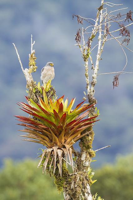 Roadside Hawk on Roadside Giant Bromeliad