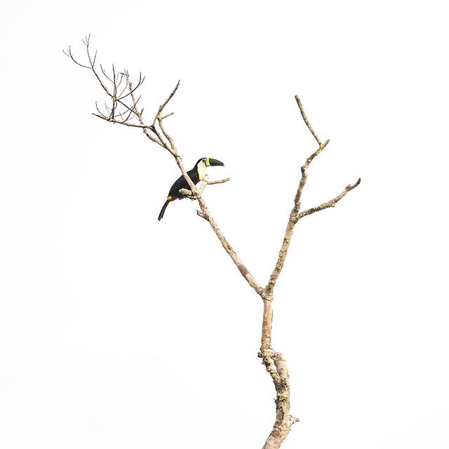 White-throated Toucan Hi-key
