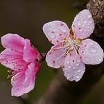 桃花 Peach Blossom