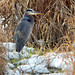 Great Blue Heron and Snow