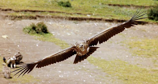 Lift off of the sky dweller, Himalayan Griffon, Tibet 2013