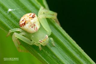 Crab spider (Ebrechtella sp.) - DSC_3921