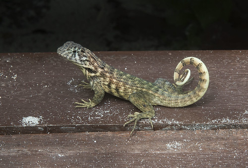 Cuban curly-tailed lizard (Leiocephalus carinatus labrossytus)
