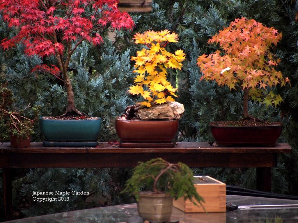 Acer Shirasawanum Aureum Bonsai Fall Color Anyone Who Ha Flickr