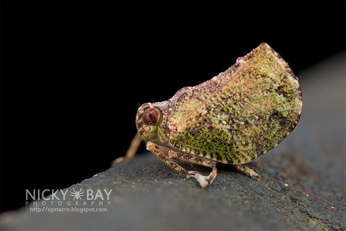Issid Planthopper? (Issidae) - DSC_8641   by nickybay