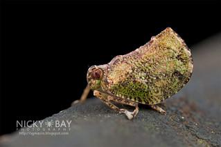 Planthopper (Cotylana sp.) - DSC_8641
