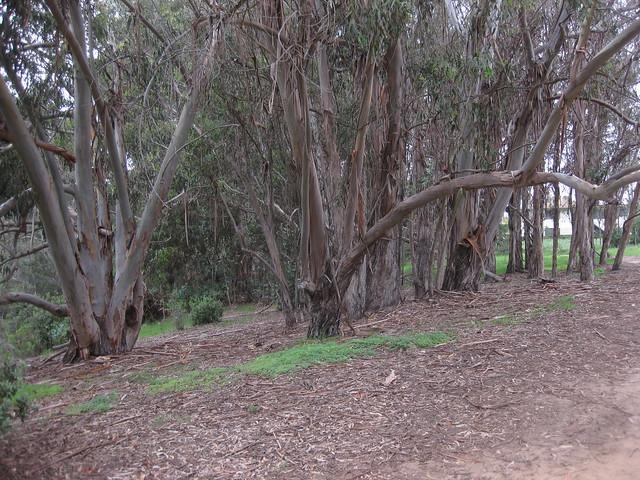 IMG_4162 Ellwood Mesa trail trees