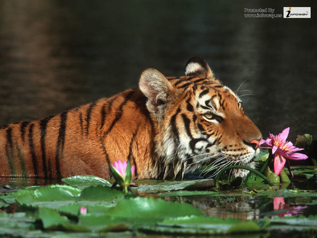 Tiger Wallpapers Hd Bengal Tiger Wallpaper For Desktop Flickr