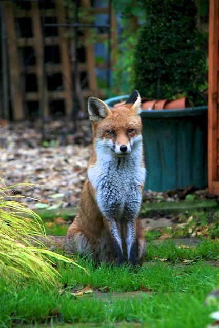 Fox comes to inspect the garden...