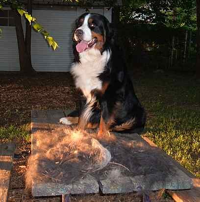 Do They Shed 004 People Ask Do Bernese Mountain Dogs Shed