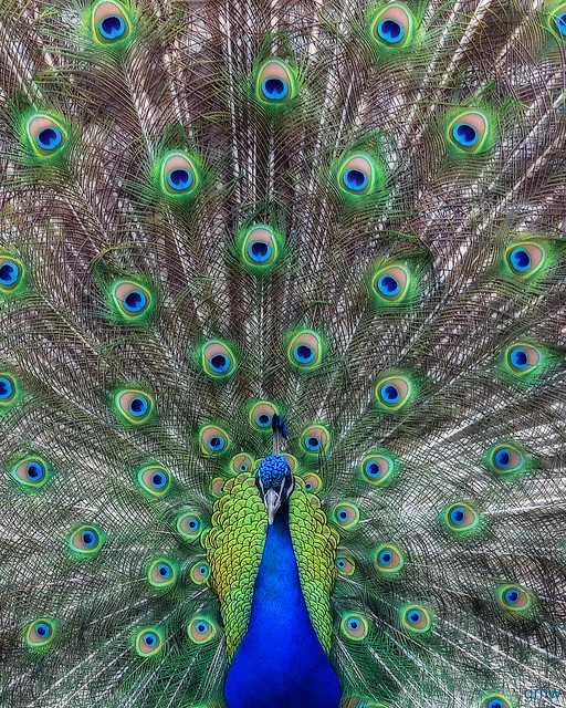 Peacock (Explored)