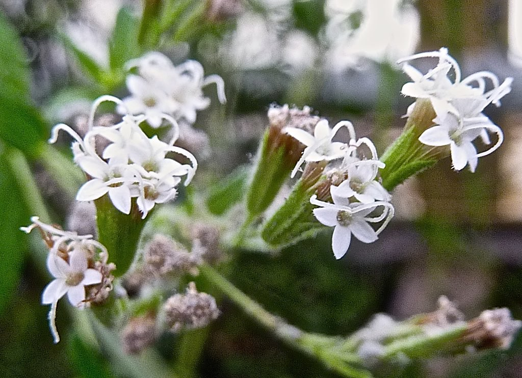 Stevia rebaudiana 7