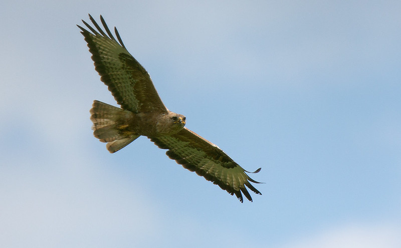 Buzzard (Long-legged)