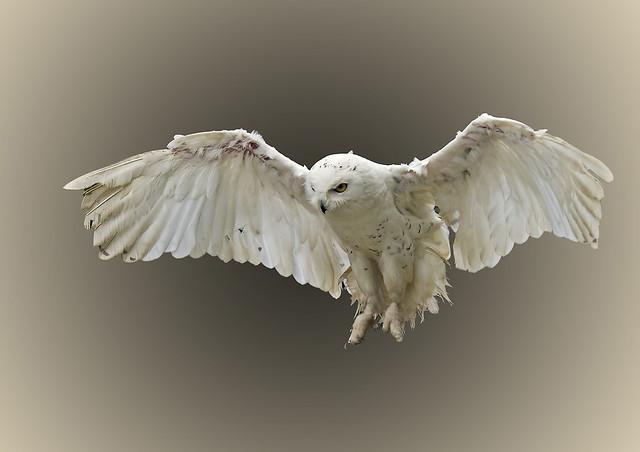 Snowy-owl_3201
