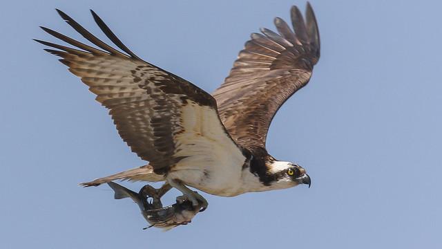 Adult Male Osprey,..
