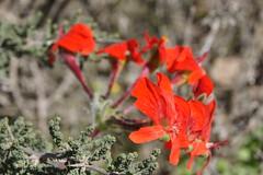 Pelargonium fulgidum in habitat