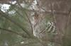 Ruffed Grouse (Bonasa umbellus) by JPM Lamontagne