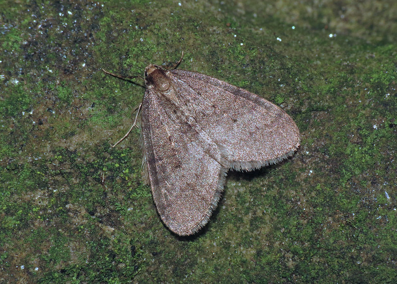 1799 Winter Moth - Operophtera brumata