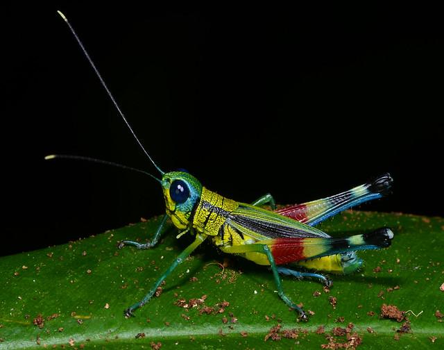 Colourful forest grasshopper