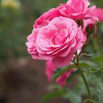 Rose, Royal Bonica, バラ, ロイヤル ボニカ,