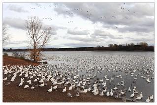 Les oies sont de plus en plus nombreuses au lac !